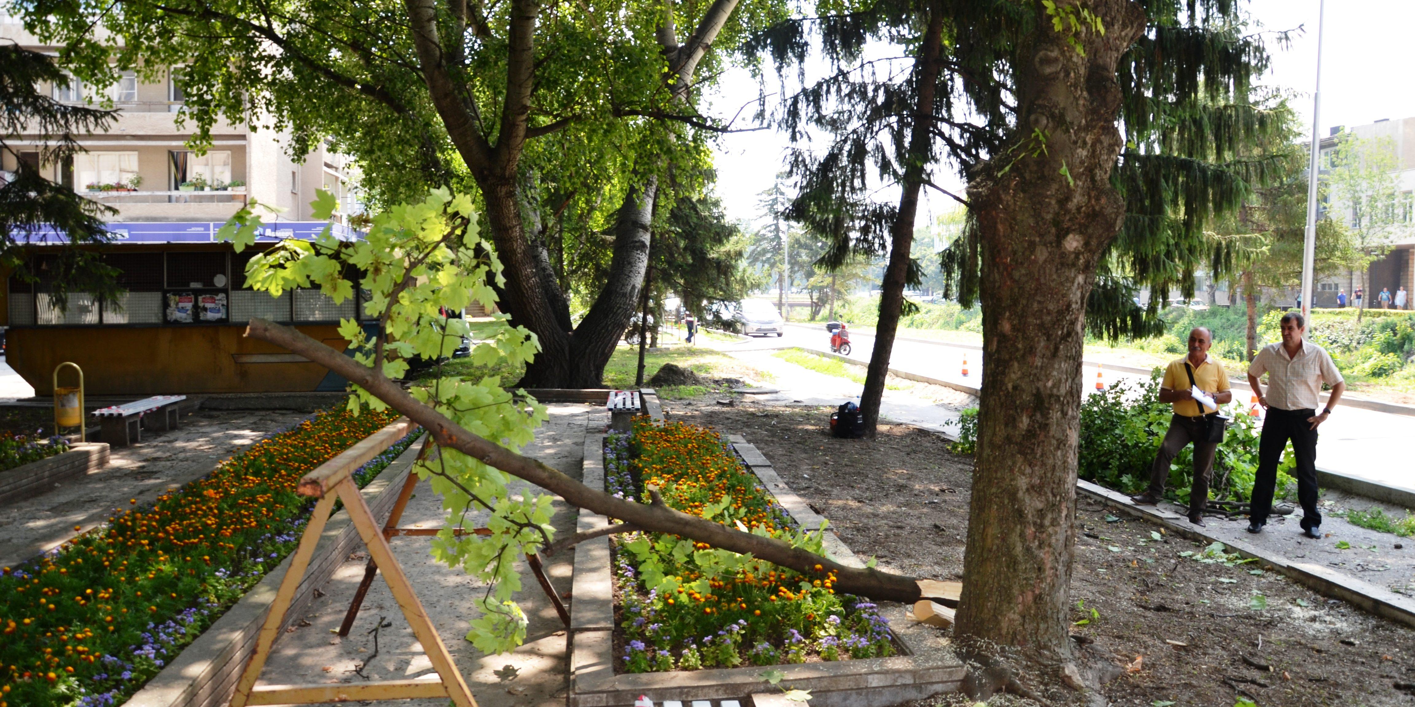 Видеорепортаж: Кастрят дърветата и декоративните храс ...
