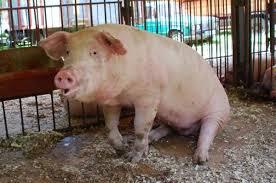 100-килограмово прасе изчезна от частен двор в Брестове� ...