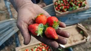 Търсят 800 берачи на ягоди в Испания срещу надник от 39,71 � ...
