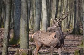 Благороден елен без глава откриха в землището на Дянко ...