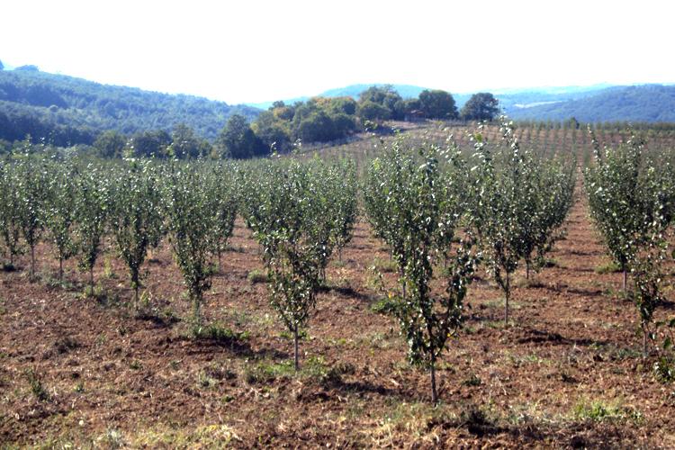 Откраднаха 85 сливови дръвчета от градина в Лудогорци