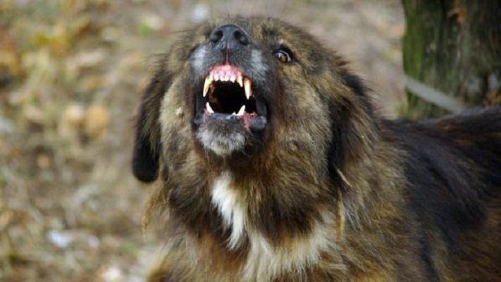 Озверели кучета нахапаха до смърт немска овчарка в Ост ...