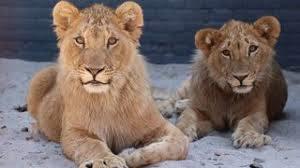 Лъвът Масуд бе евтаназиран в Нидерландия