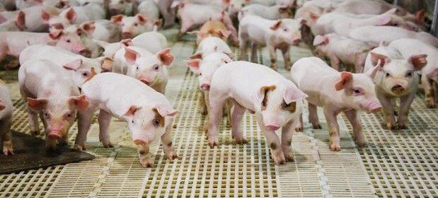 Инспектират 3 пъти годишно свиневъдните обекти в облас ...