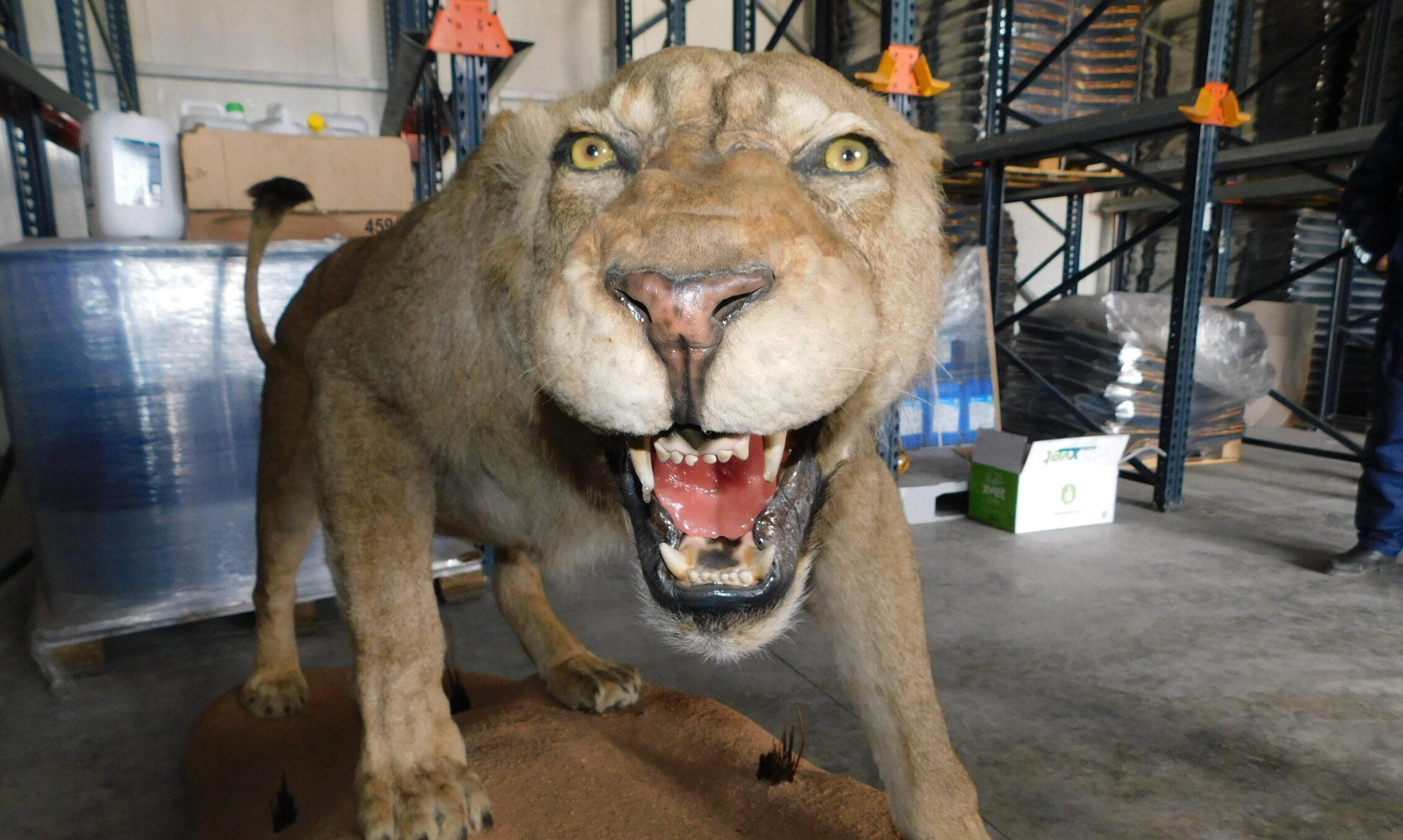 Препарирано животно от защитен вид е открито при претъ ...