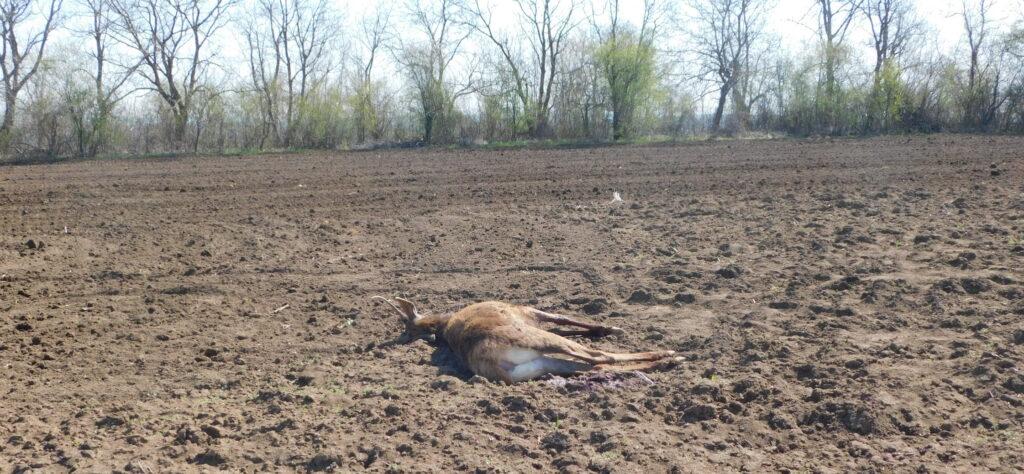Убит елен е намерен в землището на разградското село Б� ...